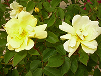 Blooms emerge bright yellow and age to creamy white. Great disease