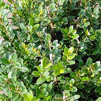 This compact Boxwood reaches 4' tall and 4-5' wide. Excellent for borders